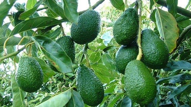 Kenya lifts temporary ban on avocado exports  