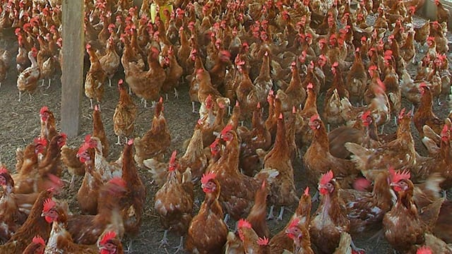 Tanzania's chicken import ban bites as shortage looms |